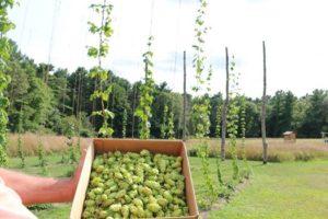 Harper Lane Brewery hop farm