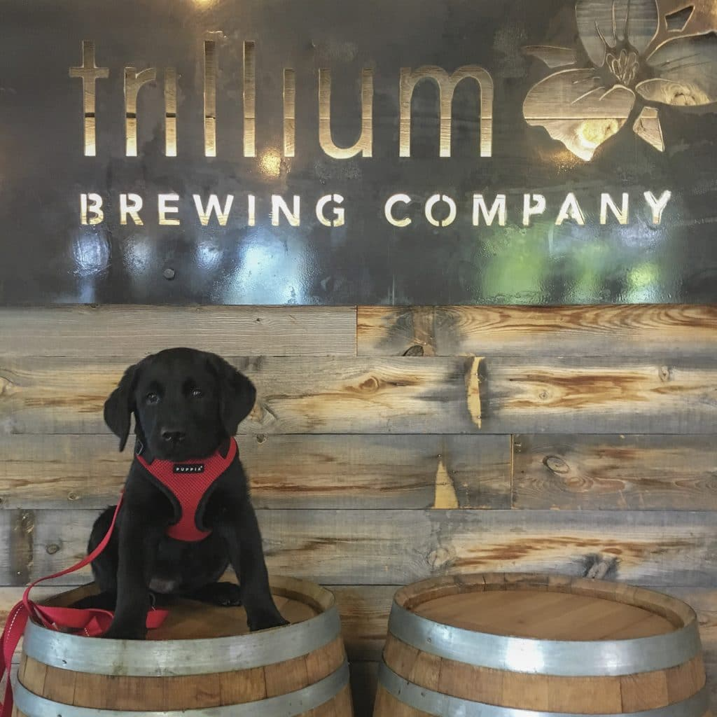 Louie the Black Lab at dog friendly Trillium Brewing